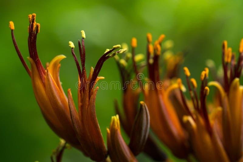 关闭琥珀色的橙黄色野生百合有绿色背景 图库摄影