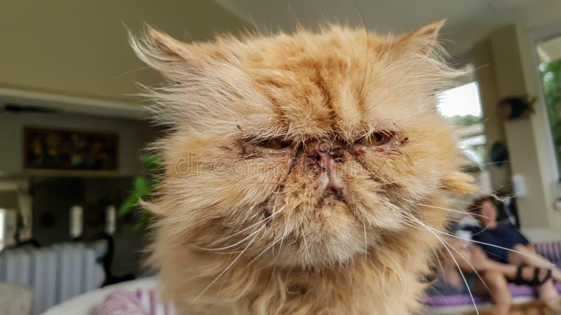 关闭非常懊恼并且不耐烦与所有者的一只丑恶的异乎寻常的短发猫 库存照片