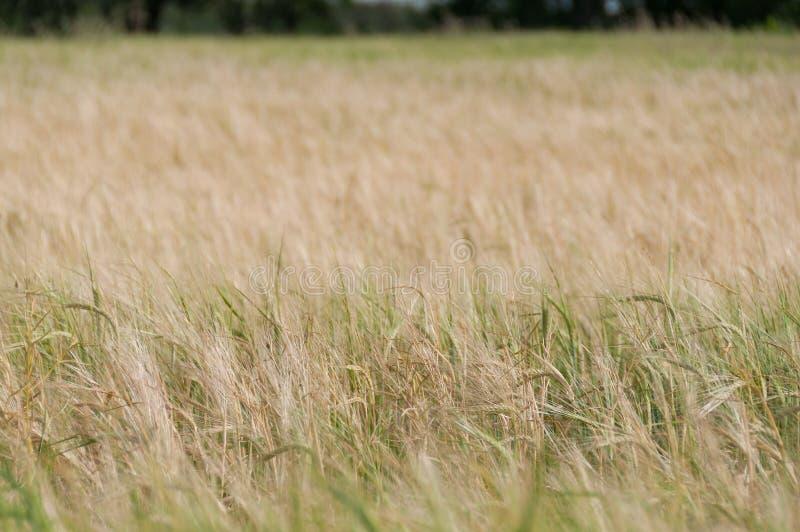 关闭麦子植物,在麦田的耳朵 选择聚焦,浅dof 库存图片
