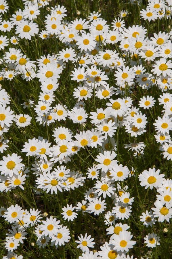 充分草甸开花的延命菊 库存图片