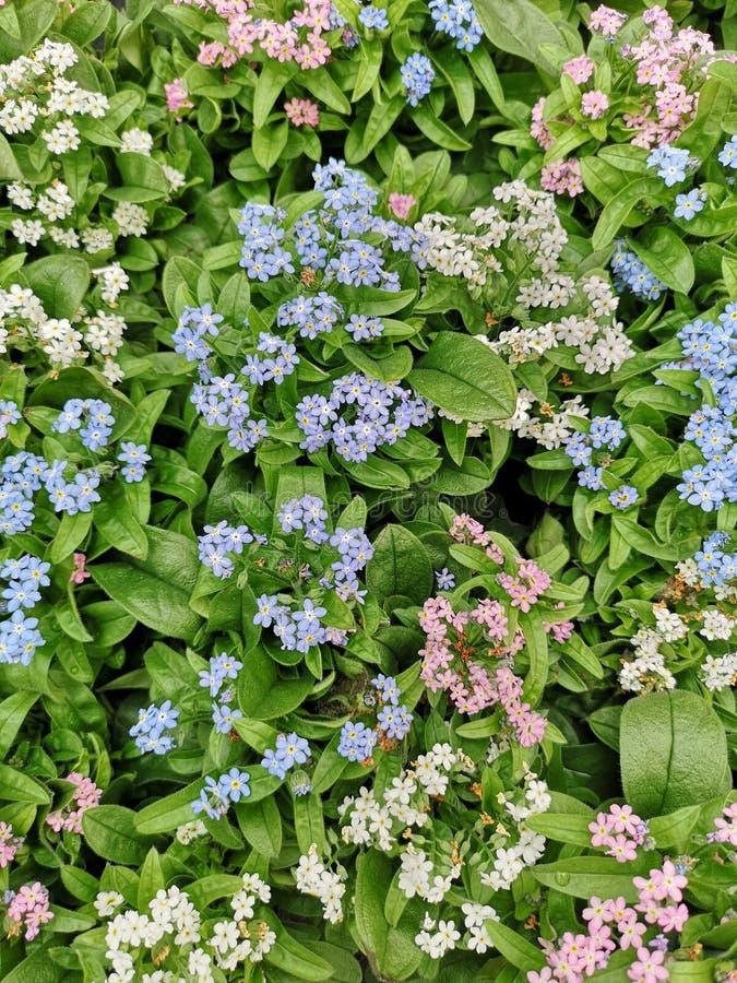 勿忘草植物五颜六色的花的特写镜头  库存照片