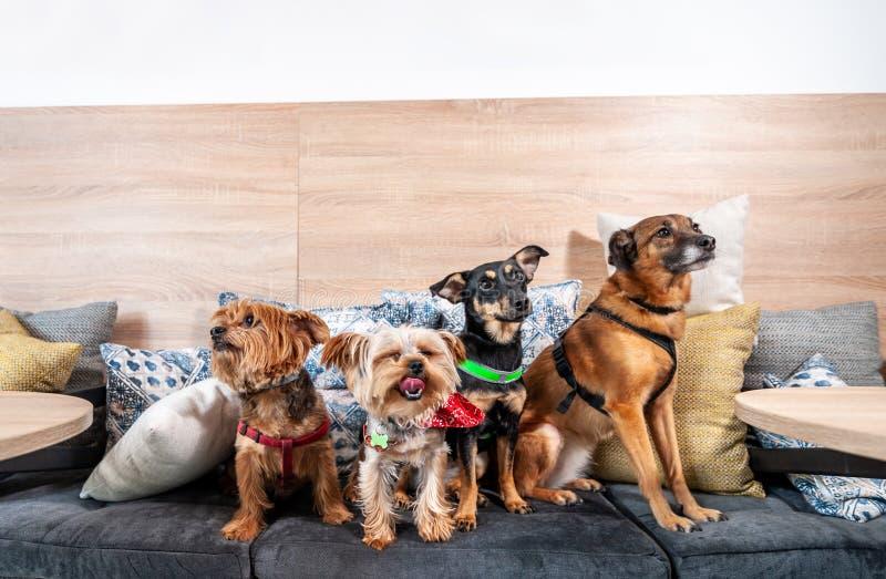 四个滑稽的逗人喜爱的狗前被放弃的无家可归者采取由好人和获得在枕头的乐趣在享有新的生活的宠物店 免版税库存照片