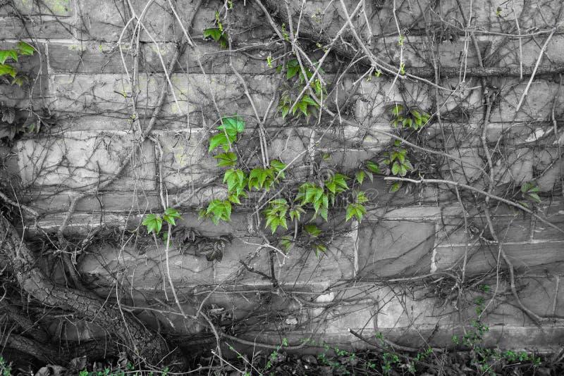 Ściana z cegieł z winograd rośliny czerni bielu zielenią zdjęcie royalty free