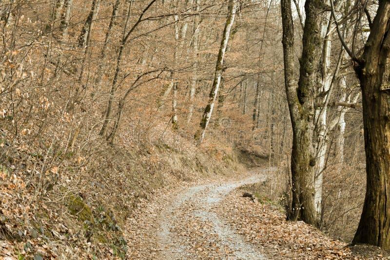 Ścieżka przez pięknego żółtego deciduous lasu podczas zimy obraz royalty free