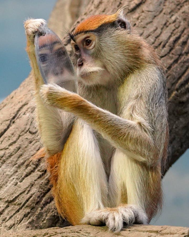 Śliczna Patas małpa ono widzii w lustrze zdjęcia royalty free