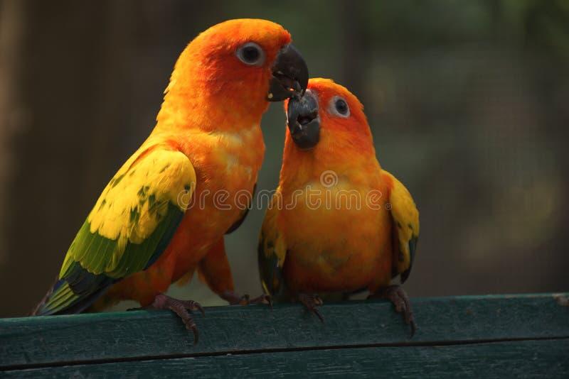 Śliczne papugi w miłości obrazy royalty free