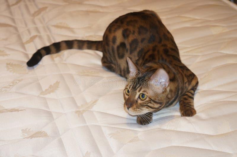 Śliczny Bengal kota polowanie na łóżku obrazy stock