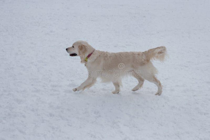 Śliczny golden retriever chodzi na białym śniegu Zwierząt domowych zwierzęta zdjęcia royalty free