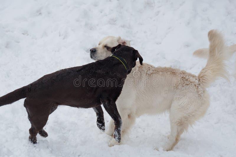 Śliczny golden retriever i czarny Labrador retriever bawić się na białym śniegu Zwierząt domowych zwierzęta obraz stock