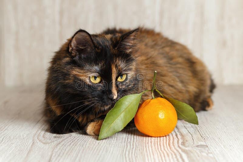Śliczny kot kłama blisko mandarynu i obwąchuje je fotografia stock