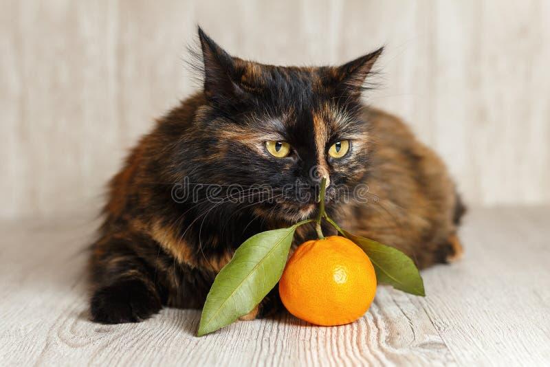 Śliczny kot obwąchuje tangerine z interesem obrazy royalty free