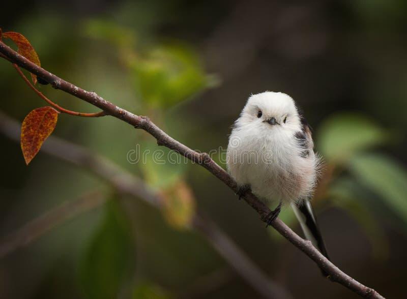Śliczny mały długoogonkowy tit ptak na gałąź obraz royalty free