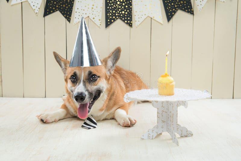Śliczny pembroke corgi jest ubranym urodzinowego kapelusz i świąteczną babeczkę zdjęcie royalty free