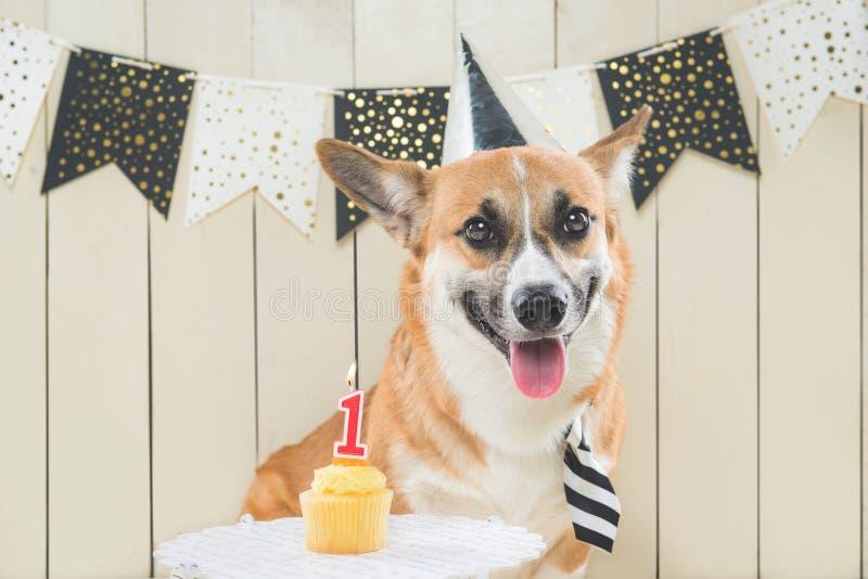 Śliczny pembroke corgi jest ubranym urodzinowego kapelusz i świąteczną babeczkę obrazy royalty free