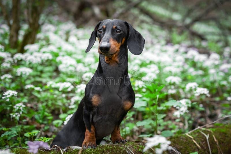 Śliczny psi trakenu jamnik, czarny i dębny, w zielonym lesie przeciw białej wiośnie kwitnie zdjęcia stock