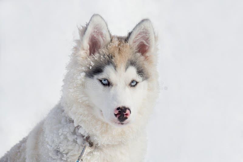 Śliczny siberian husky szczeniak siedzi na białym śniegu Trzy miesiąca starego Zwierząt domowych zwierzęta obraz royalty free