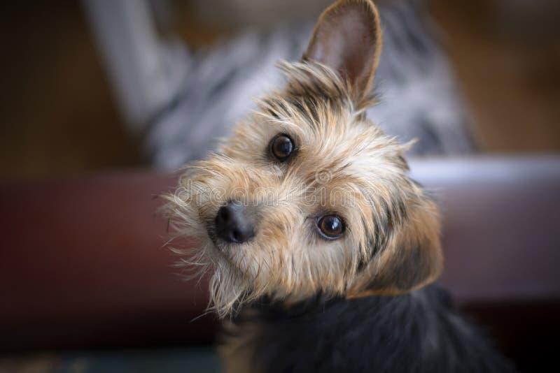 Śliczny Yorkshire Terrier szczeniak patrzeje kamerę obraz stock