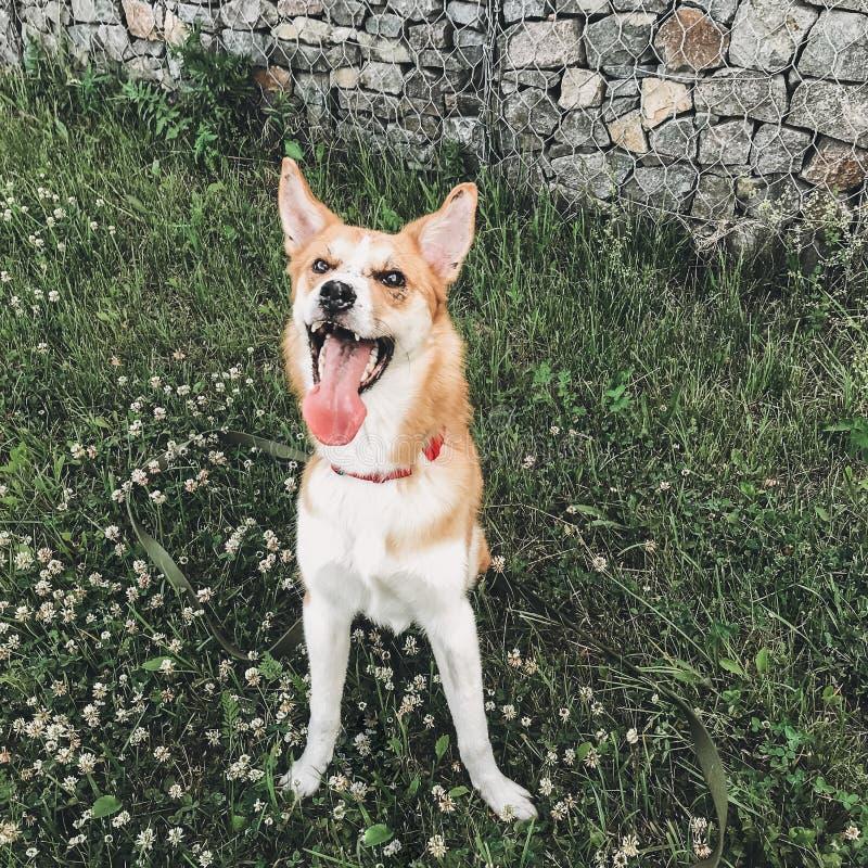 Śliczny złoty psi obsiadanie wśród białych kwiatów i ono uśmiecha się Szczęśliwy psi odpoczywać na zielonej trawie w lato parku T obrazy royalty free