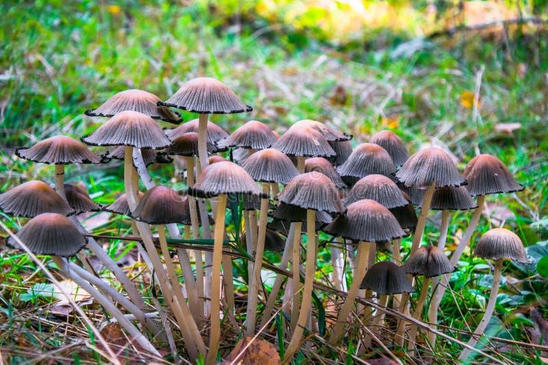 Śmiertelny jadowity pieczarki Galerina marginata r w jesień lesie fotografia stock