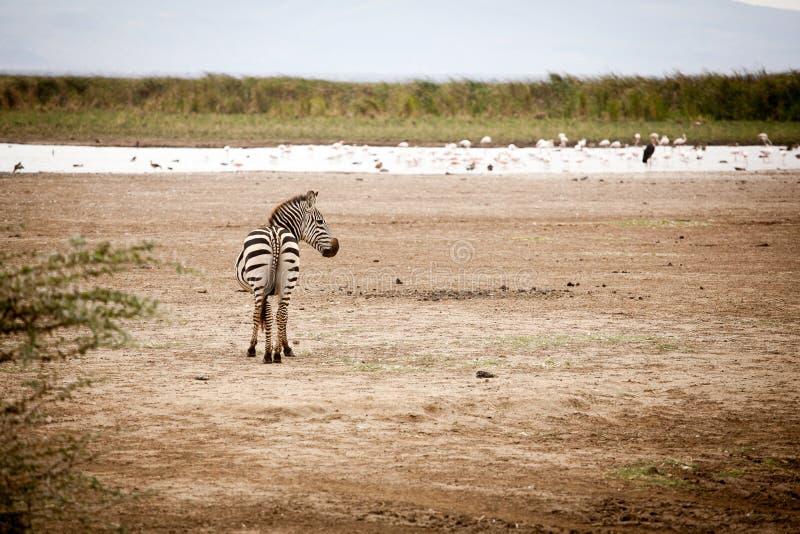 Śmieszna zebry Equus kwaga fotografia stock