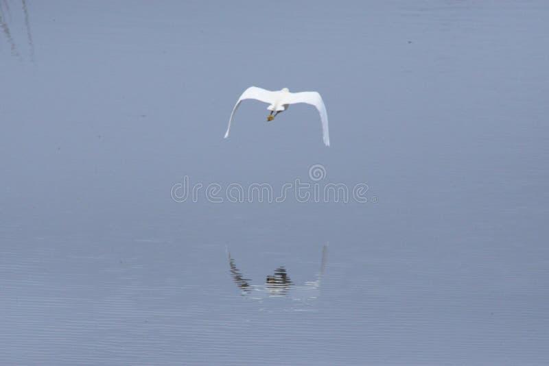 Śnieżny Egret lata nad jej swój odbiciem w Amelia wyspy Greenway obrazy royalty free