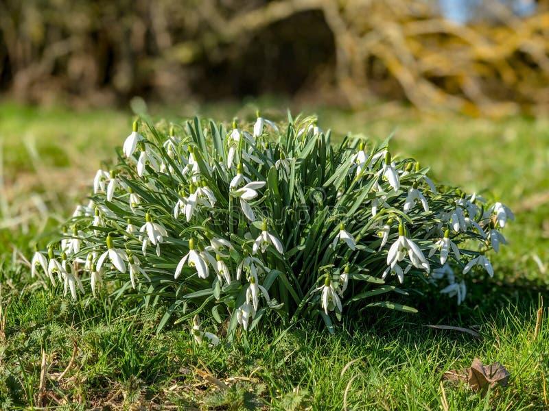 Śnieżyczki wiązka dzicy kwiaty w kwitnieniu podczas opóźnionej zimy wiosny wczesnego światła słonecznego, UK, Luty 2019 fotografia stock