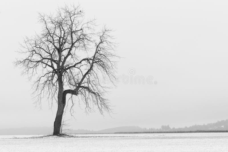 Śnieg zakrywający rolnictwa pole z samotnym drzewem obraz royalty free