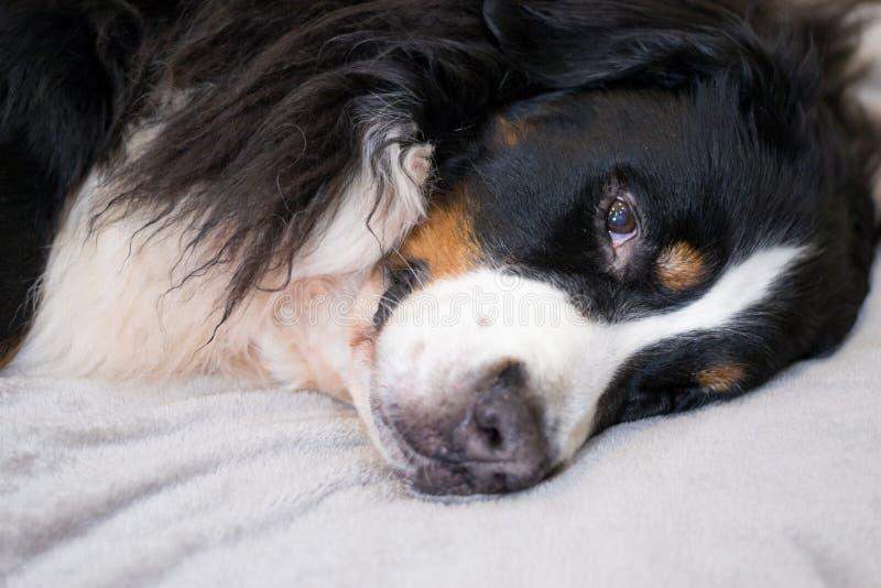 Śpiący Bernese góry pies kłama na beżowej pluszowej szkockiej kracie czas dla spać Wygodny i uroczy dom Rodzinni czasów wydatki zdjęcie stock