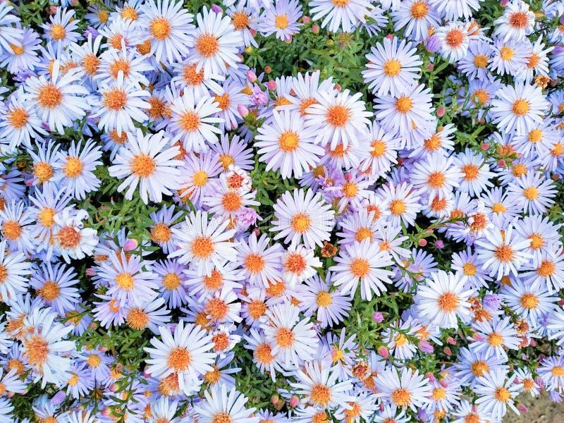 Śródpolnych chamomiles kwiaty kwitnie w słońce dniu fotografia stock