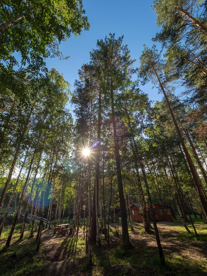 Światło słoneczne przez sosen w jesień lesie zdjęcia stock