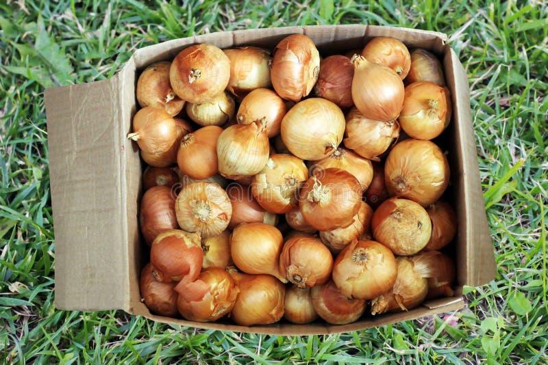 Świeże cebule w kartonie na zielonej trawie zdjęcie royalty free