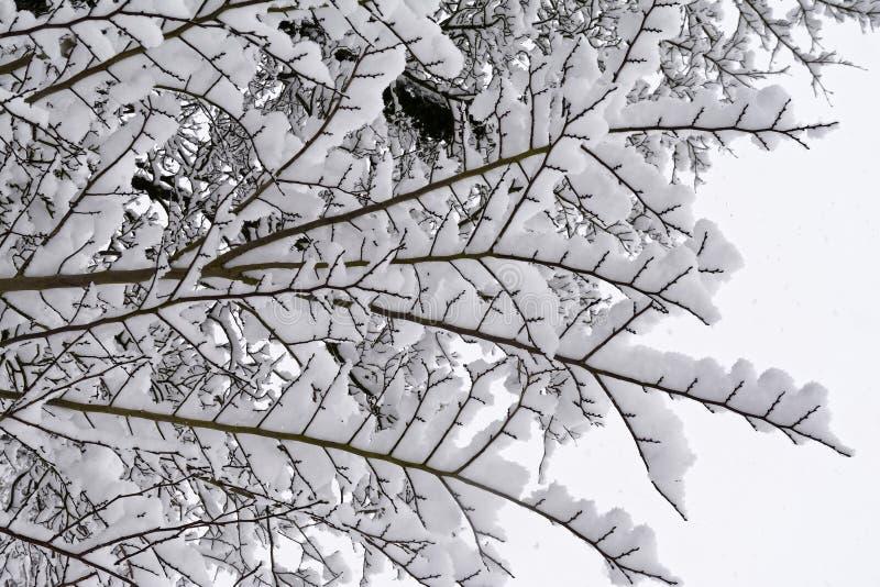 Świeży śnieg na gałązkach zdjęcia royalty free