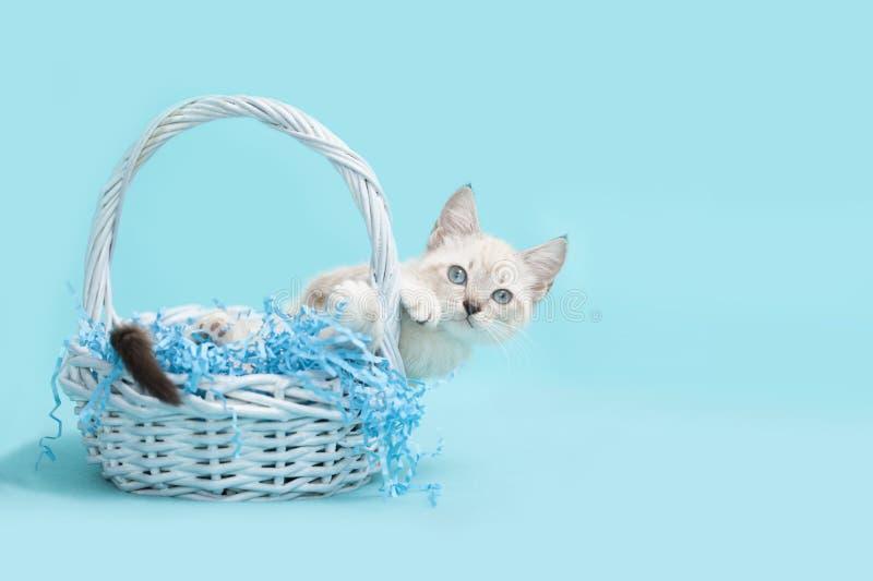 倾斜在一个蓝色篮子外面的白色暹罗复活节小猫 免版税图库摄影