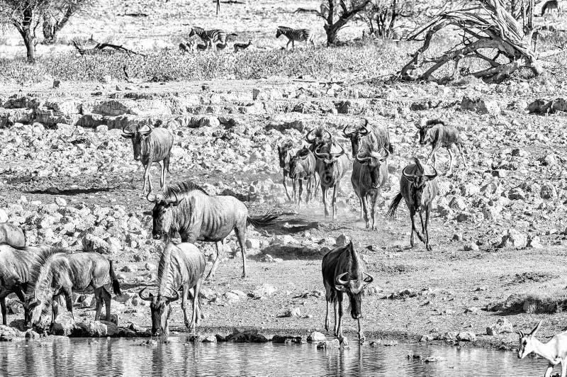 喝在一waterhole的蓝色角马在纳米比亚北部 单色 库存照片