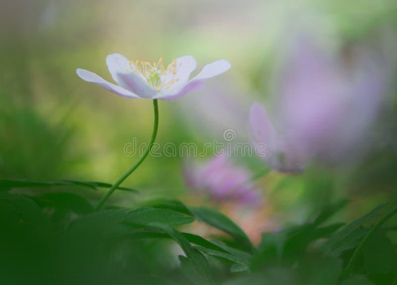 唯一白色五叶银莲花在原始梦想的春天森林里 库存图片