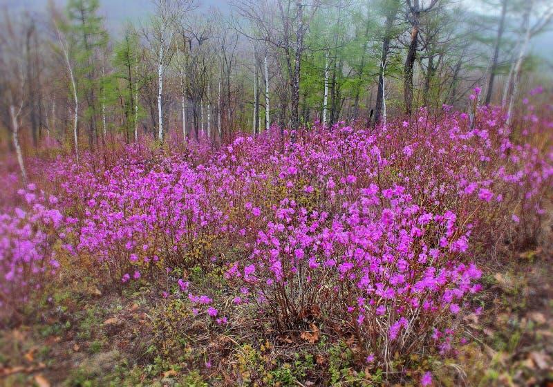 喇叭茶 我们的春天森林和小山美妙的秀丽  在森林边缘的第一朵春天花 早期的春天 免版税库存照片