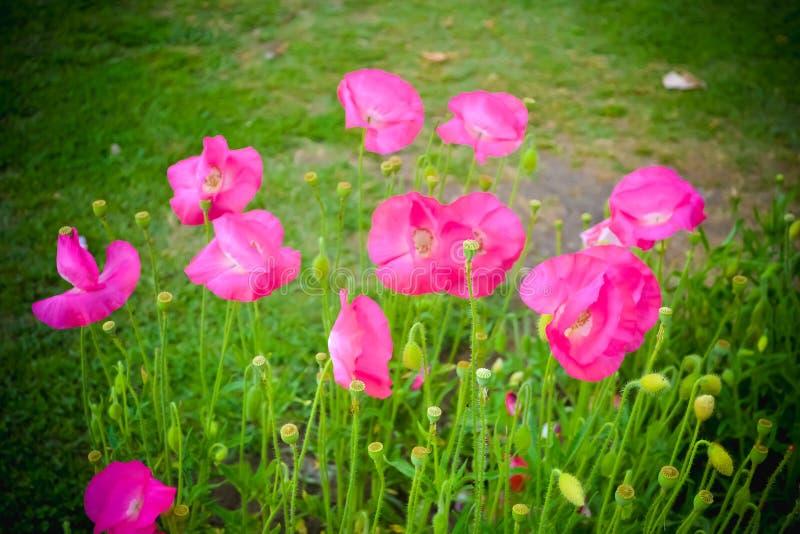 喇叭花也叫坎特伯雷响铃是开花植物南美裔 喇叭花是植物类  他们  图库摄影