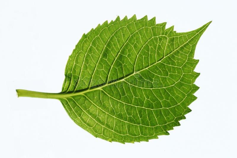 åder för leaf s royaltyfri foto