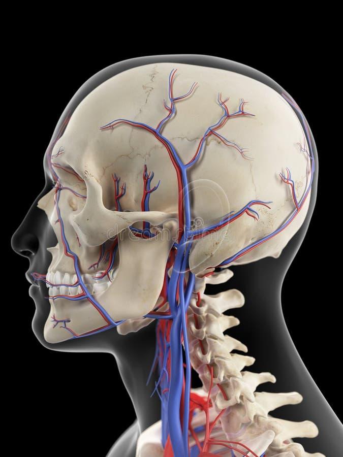 Åderna och artärerna av huvudet royaltyfri illustrationer