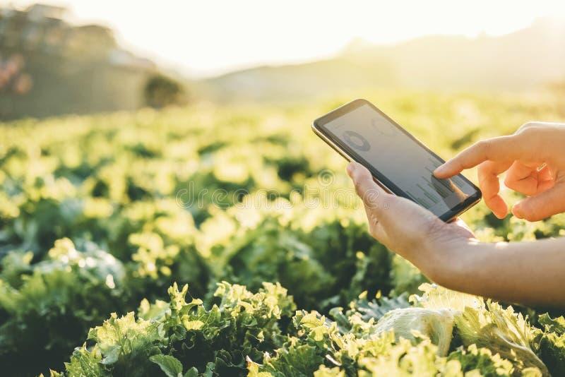 Åkerbruk bonde som kontrollerar touchpaden i Nappa kål Fram i sommar arkivbilder