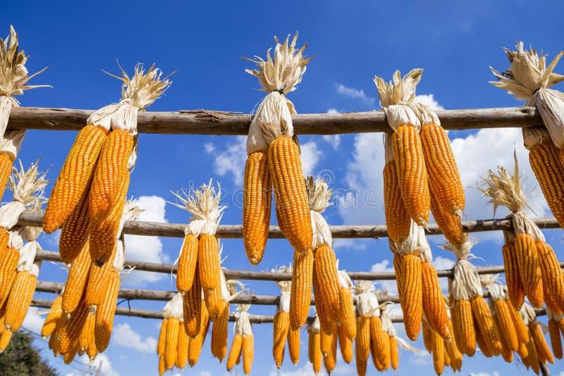 Åkerbruk branschbegreppsbakgrund av torr majs som utanför hänger arkivfoto