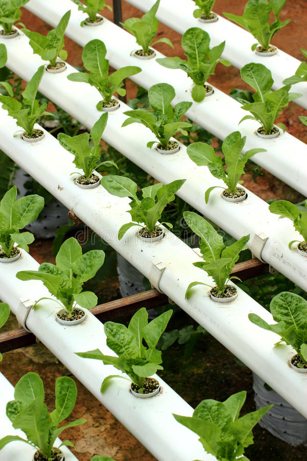 åkerbruk hydroponic grönsak 01 royaltyfri foto