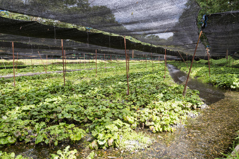 Åkerbruk koloni för generisk wasabi med skyddande skugga längs flodström royaltyfri fotografi
