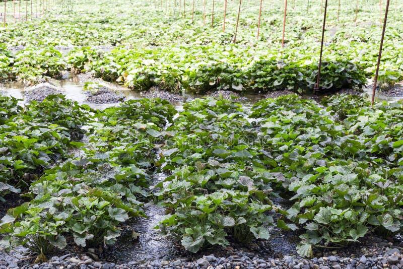 Åkerbruk koloni för generisk wasabi med skyddande skugga längs flodström royaltyfri bild