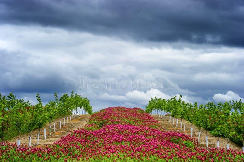 Åkerbruk rullande backe av en ny fruktträdgård med rader av rött c royaltyfri foto