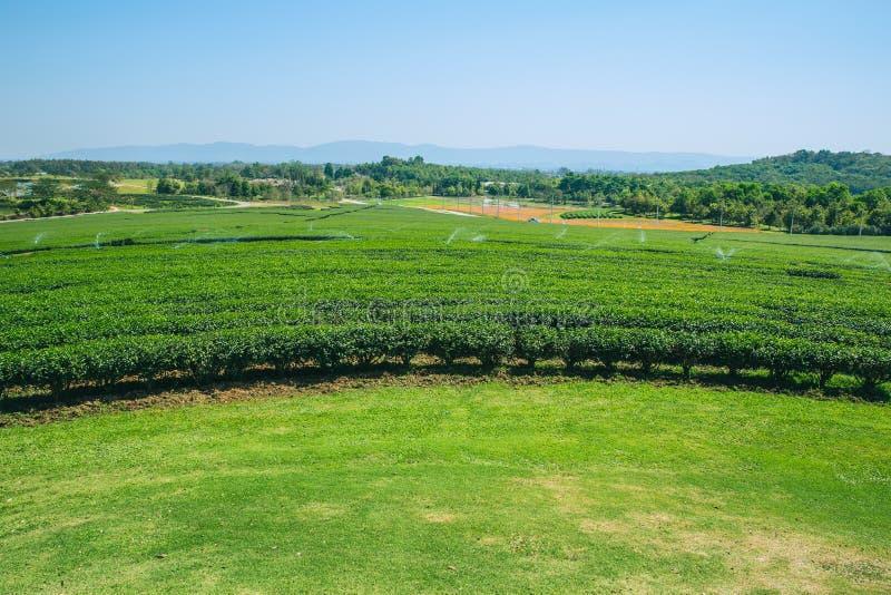 Åkerbrukt fält för grönt te royaltyfria foton