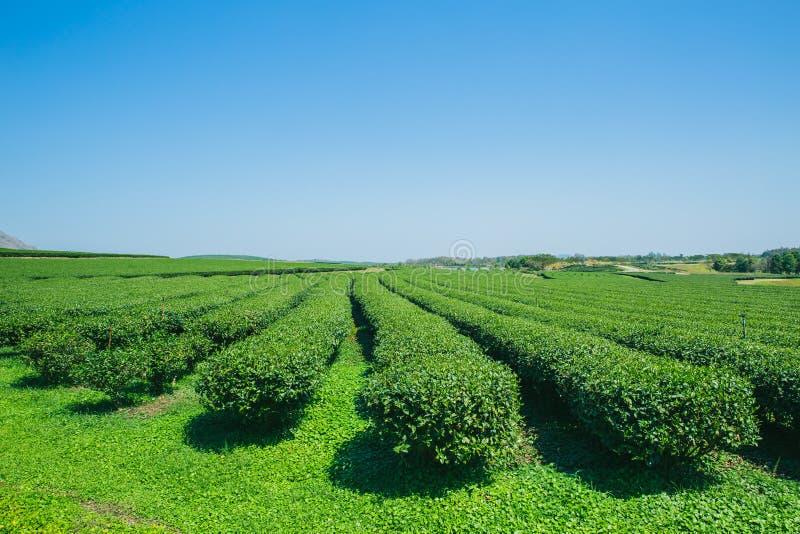 Åkerbrukt fält för grönt te med blå himmel arkivbilder