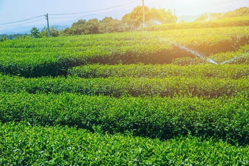Åkerbrukt fält för grönt te med blå himmel royaltyfria bilder