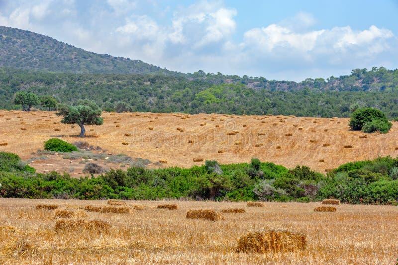 Åkerbrukt fält med sugrörbaler royaltyfri fotografi
