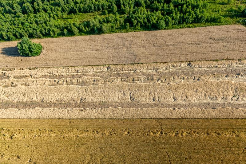 Åkermarkfält, korn som förstörs under en storm arkivbilder